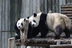 Panda gigante a Chengdu, Cina immagine stock