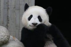 Panda gigante a Chengdu, Cina immagini stock libere da diritti