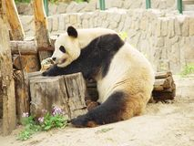 Panda gigante China Fotos de Stock