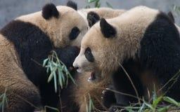 Panda gigante china que grita fotos de archivo
