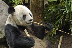 Panda gigante com varas Imagens de Stock