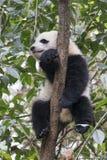Panda gigante del bambino che riposa in un albero Chengdu, Cina Fotografie Stock Libere da Diritti