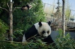 Panda gigante e cucciolo Fotografia Stock Libera da Diritti