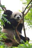 Panda gigante en árbol Fotos de archivo libres de regalías