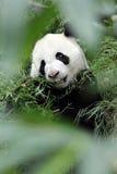 Panda gigante en el bosque - P Fotos de archivo libres de regalías