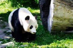 Panda gigante en la hierba Fotografía de archivo