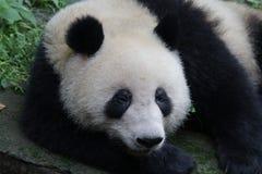 Panda gigante lanuginoso, base del panda di Chengdu, Chian immagini stock