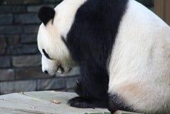 Panda gigante, melanoleuca do Ailuropoda Foto de Stock