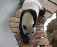 Panda gigante, melanoleuca do Ailuropoda Foto de Stock Royalty Free