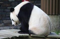 Panda gigante, melanoleuca do Ailuropoda Fotos de Stock