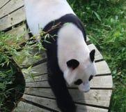 Panda gigante, melanoleuca do Ailuropoda Fotografia de Stock Royalty Free