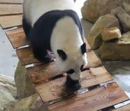 Panda gigante, melanoleuca do Ailuropoda Fotografia de Stock