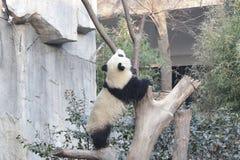 Panda gigante mullida cerrada-para arriba en Chengdu, China Foto de archivo libre de regalías