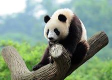 Panda gigante na árvore foto de stock royalty free