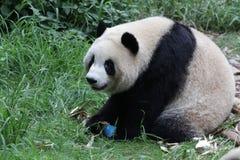 Panda gigante nella base del panda di Chengdu, Cina fotografie stock