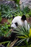 Panda gigante no ambiente do jardim zoológico Foto de Stock Royalty Free