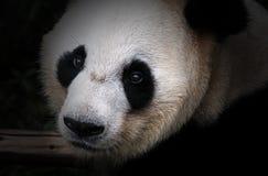 Panda gigante o Ailuropoda Melanoleuca o Da Xiong Mao Fotografia Stock Libera da Diritti