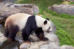 A panda gigante (panda branca) Fotografia de Stock