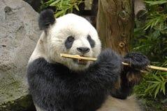 Panda gigante a pranzo Fotografia Stock Libera da Diritti