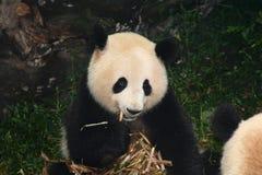 Panda gigante que come el bambú Foto de archivo