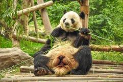 Panda gigante que come el bambú. Foto de archivo