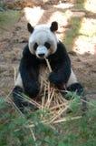 Panda gigante que come o bambu Fotos de Stock Royalty Free