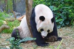 Panda gigante que descansa con su lengua hacia fuera Foto de archivo libre de regalías