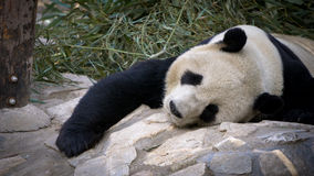 Panda gigante que descansa en el parque zoológico imágenes de archivo libres de regalías