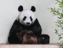 Panda gigante que se sienta mirando la cámara Foto de archivo
