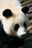 Panda gigante que sube abajo Imagen de archivo libre de regalías