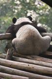 Panda gigante sola Foto de archivo
