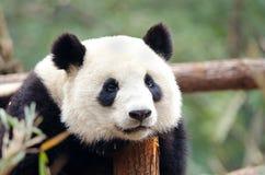 Panda gigante - triste, cansado, agujereado mirando actitud Chengdu, China imagen de archivo libre de regalías