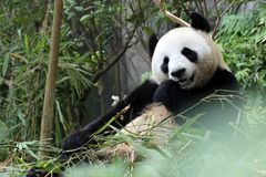 Panda gigante in uno zoo Fotografie Stock
