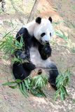 Panda gigante in uno zoo Fotografia Stock Libera da Diritti
