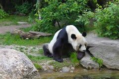 Panda gigante vicino al fiume in fauna selvatica Fotografie Stock
