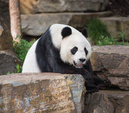 Panda gigantyczny niedźwiedź Zdjęcia Royalty Free
