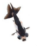 Panda goldfish isolated on white background Royalty Free Stock Photo