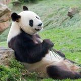 Panda grande Imagem de Stock