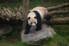 Panda grande Imagenes de archivo
