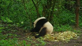 Panda grande almacen de metraje de vídeo