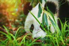 Panda in the Grass royalty free stock image