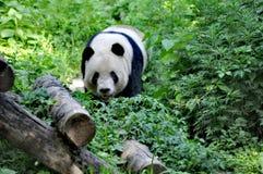Panda Grazing in den Blättern - Peking lizenzfreies stockbild
