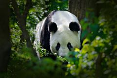 Panda in green forest vegetation.  Wildlife scene from China nature. Portrait of Giant Panda feeding on bamboo tree in forest. Cute black and white bear with stock images