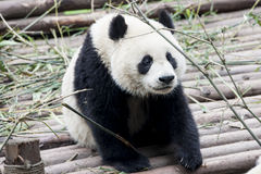 Panda (großer Panda) Stockfotografie