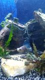 panda h do peixe dourado da cauda do véu Fotos de Stock Royalty Free