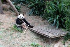 Panda Having adulto una comida Imágenes de archivo libres de regalías