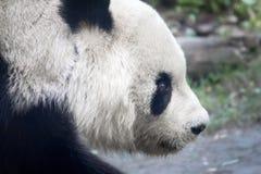 Panda head. stock image
