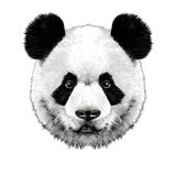 Panda head. Is symmetrical looks right, sketch  graphics color picture Stock Photo
