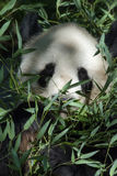 Panda Royalty Free Stock Images