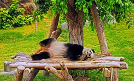 Panda in hong kong Stock Photography